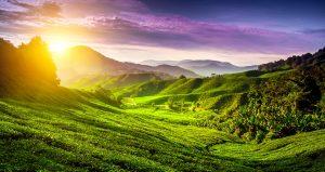 tea-plantation-cameron-highlands-malaysia